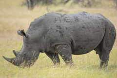 Rhinocéros blanc (simum de Ceratotherium) en Afrique du Sud Photo stock