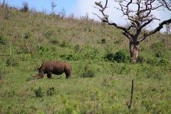 Rhinocéros blanc sur la colline avec l'arbre de parapluie Photographie stock