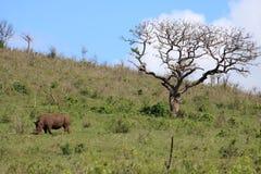 Rhinocéros blanc sur la colline avec l'arbre de parapluie Image stock