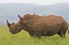 Rhinocéros blanc sur la savane photos libres de droits