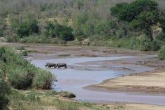 Rhinocéros blanc traversant une rivière dans le paysage africain Photos libres de droits