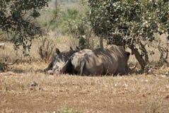 Rhinocéros blancs Images libres de droits