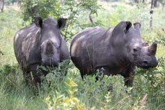 Rhinocéros blancs au Zimbabwe, parc national de Hwange photographie stock