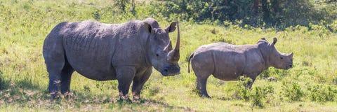 Rhinocéros blancs de Nakuru photographie stock libre de droits