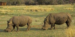 Rhinocéros blancs en Afrique du Sud Photo libre de droits