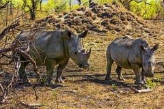 Rhinocéros blancs, parc national de Kruger photo libre de droits