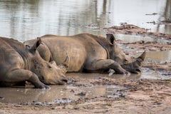 Rhinocéros blancs s'étendant par l'eau photo stock