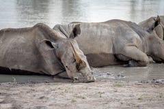 Rhinocéros blancs s'étendant par l'eau photographie stock libre de droits