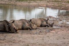 Rhinocéros blancs s'étendant par l'eau image libre de droits