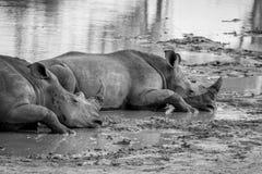Rhinocéros blancs s'étendant par l'eau photos libres de droits