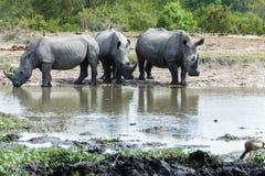 Rhinocéros buvant à un petit abreuvoir images stock