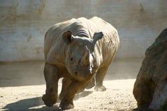 Rhinocéros courant Photos stock