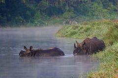 Rhinocéros d'Indienne de mère et de chéri Photos stock