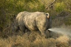 Rhinocéros d'inscription Images libres de droits