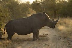 Rhinocéros d'inscription Images stock