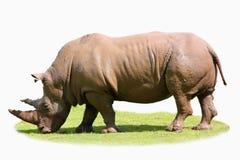 Rhinocéros d'isolement sur une correction d'herbe Image stock