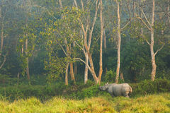 Rhinocéros dans la jungle, parc national Népal de Chitwan Photo stock