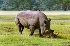 Rhinocéros dans la savane africaine Images stock