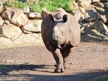Rhinocéros dans le mouvement - portrait Photographie stock libre de droits