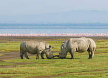 Rhinocéros dans le nakuru de lac, Kenya Photo libre de droits