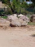 Rhinocéros dans le rugueux photos stock