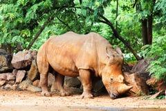 Rhinocéros dans le sauvage Photo libre de droits