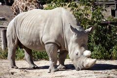 Rhinocéros dans le zoo image libre de droits