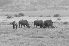 Rhinocéros dans Pilansberg Photographie stock libre de droits