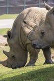 Rhinocéros dans un zoo en Italie Image libre de droits