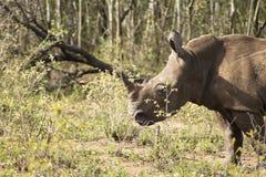 Rhinocéros de blanc de bébé Photo libre de droits