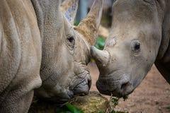 Rhinocéros de deux blancs Image libre de droits