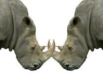 Rhinocéros de duel d'isolement avec les klaxons verrouillés Image libre de droits