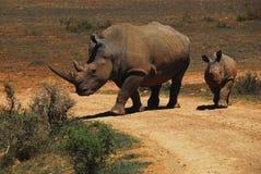 Rhinocéros de l'Afrique une mère et un bébé marchant à travers une route photos stock