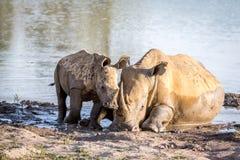 Rhinocéros de mère et veau blancs de bébé par l'eau images stock