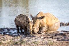 Rhinocéros de mère et veau blancs de bébé par l'eau photo stock