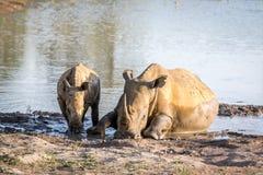Rhinocéros de mère et veau blancs de bébé par l'eau photographie stock