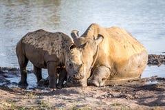Rhinocéros de mère et veau blancs de bébé par l'eau image stock