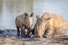 Rhinocéros de mère et veau blancs de bébé par l'eau photos libres de droits
