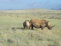Rhinocéros de maman et de chéri. Photos stock