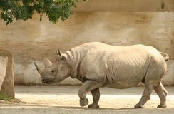Rhinocéros de marche Image stock