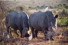 rhinocéros de paires Photos libres de droits