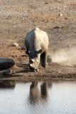 Rhinocéros de point d'eau d'Etosha Image libre de droits