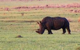 Rhinocéros de rhinocéros blanc Image stock