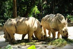 Rhinocéros deux Photo libre de droits