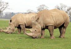 Rhinocéros deux blanc Images stock