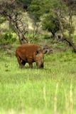 Rhinocéros en couleurs Photo libre de droits