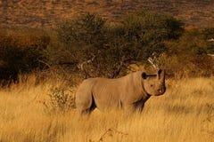 Rhinocéros en Namibie Photographie stock libre de droits
