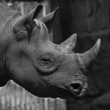 Rhinocéros en noir et blanc photos stock