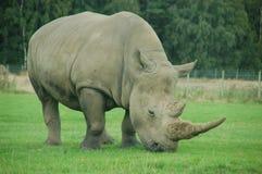 Rhinocéros en parc de safari Photographie stock libre de droits