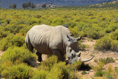 Rhinocéros en parc national de Kruger Photographie stock libre de droits